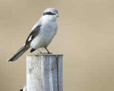 bird-shrike-1